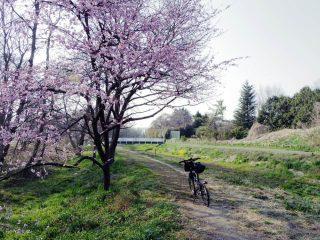 桜開花状況(2017.3.30)