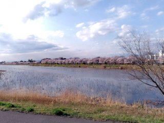 桜開花状況(2017.4.7)