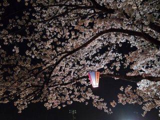 鶴生田川の夜桜(2017.4.7)