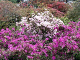 つつじが岡公園のつつじ開花状況(2017.4.22)