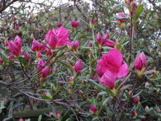 桜満開!!つつじはどうだろう?3月29日のつつじが岡公園