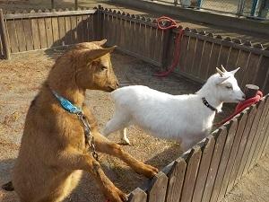 中央公園の新しいお仲間ヤギの名前を募集してるよ